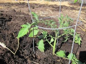 tomator